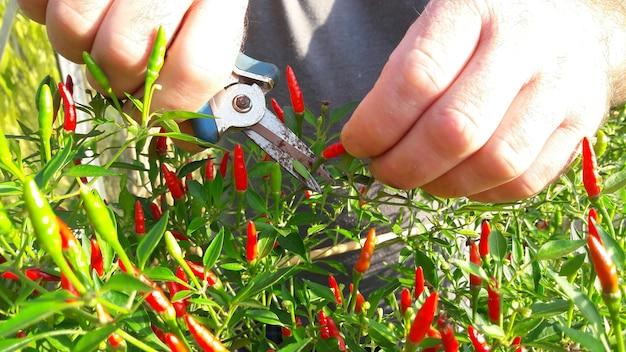 Mains de l'homme utiliser des ciseaux couper le piment sur le piment