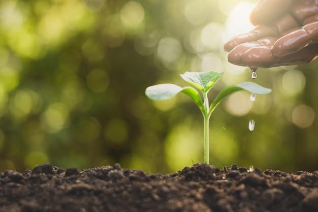 Les mains des hommes arrosent les plants en croissance.
