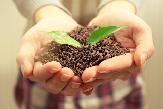 Les mains humaines avec du thé sec et des feuilles vertes, gros plan