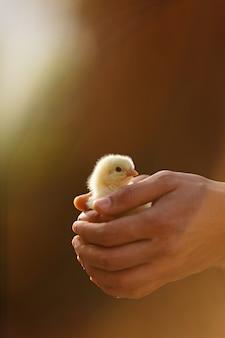 Mains humaines tenant un petit poussin jaune. personne. espace de copie, lumière du coucher du soleil. sauvez le concept de vie du monde