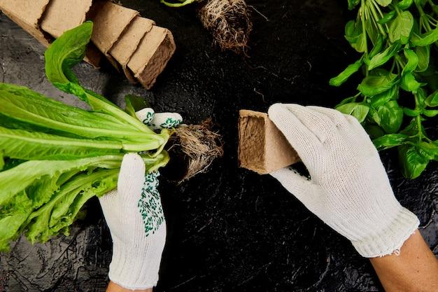 Mains de jardinier met des verdures dans un contenant de tourbe avec de la terre