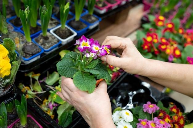 Les mains des jardiniers enlèvent les feuilles séchées de primula denticulata dans un magasin de fleurs ou une serre