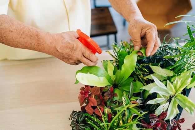 Les mains prennent soin des plantes en pulvérisant de l'eau sur les plantes brumeuses