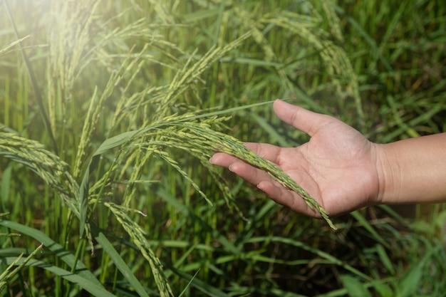 Les mains qui caressent la pointe, le riz commence dans une ferme verte.