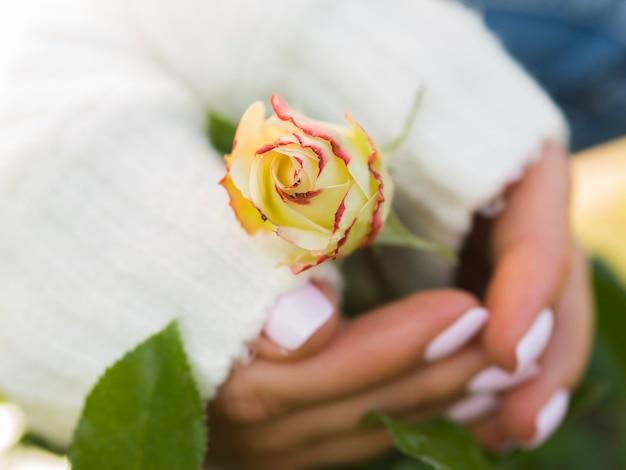 Mains tenant une belle rose de printemps