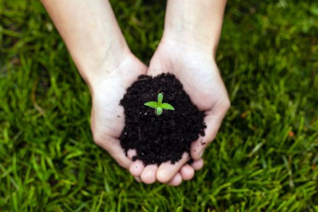 Mains tenant une jeune pousse de marijuana médicale sur un fond d'herbe verte close-up, plante de cannabis dans les paumes.