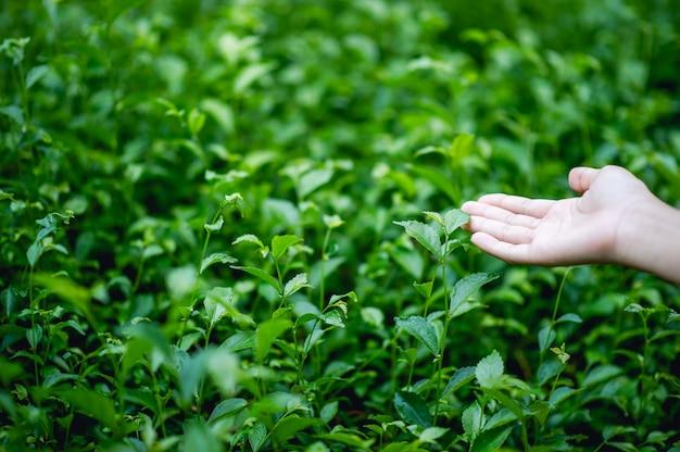 Mains touchant des feuilles de thé vert