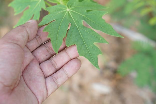 Les mains touchent les feuilles de papaye verte