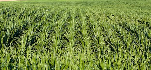 Maïs doux vert brillant dans le domaine de l'alimentation agricole, le maïs est utilisé pour nourrir les gens ou nourrir le bétail dans l'élevage, à haut rendement, gros plan