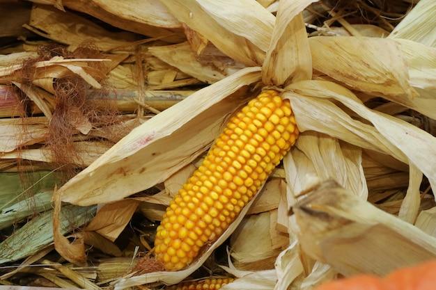 Maïs en épi avec des balles de maïs sèches. concept alimentaire et agricole.