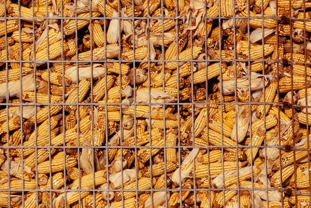 Maïs en épi dans le bac de stockage
