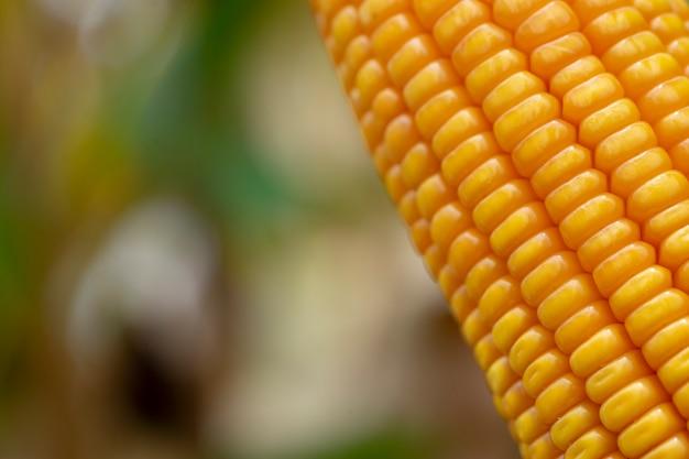 Maïs ou maïs pour transformation en fourrage jaune. ferme le cadre.