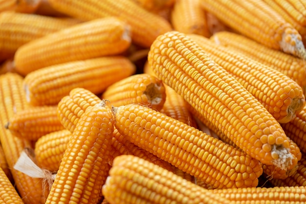 Maïs ou maïs pour transformation en fourrage jaune.