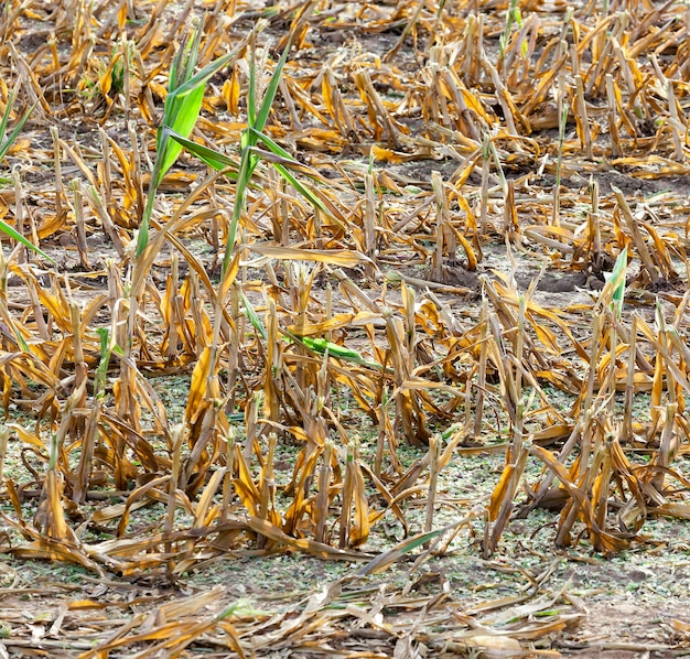 Maïs mature récolté