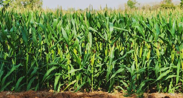 Maïs poussant dans une plantation