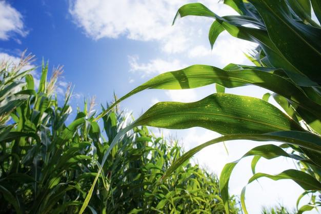 Le maïs pousse à la ferme.