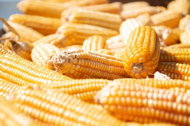 Le maïs sec est stocké comme aliment pour animaux.