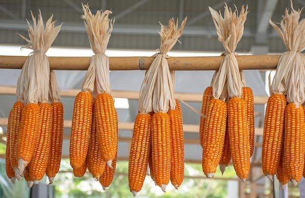 Maïs séché suspendu au bambou pour que les graines puissent être cultivées