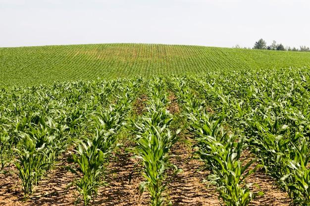 Le maïs sucré