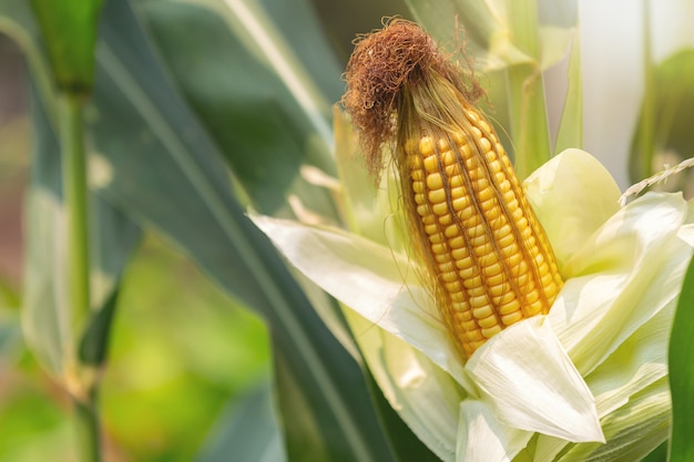 Maïs sur la tige prêt à être récolté dans le champ.