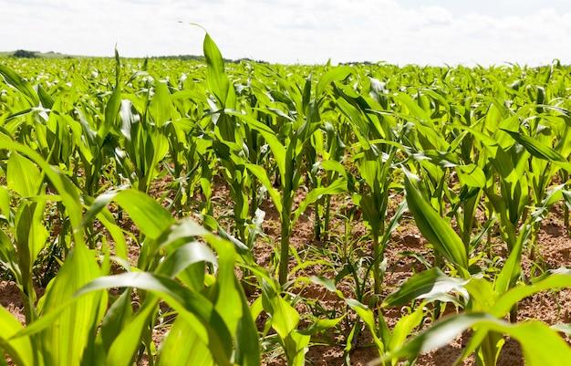 Maïs vert sur un champ à haut rendement, paysage d'été ou de printemps