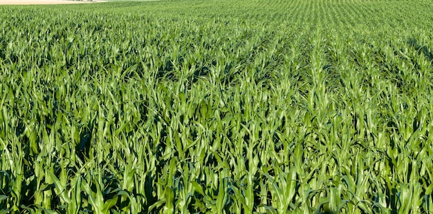 Maïs vert