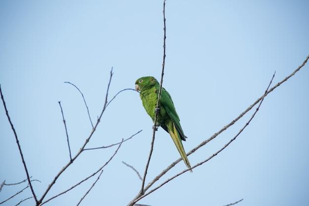La maitaca verte dans l'arbre avec le ciel bleu dans le beau paysage d'été