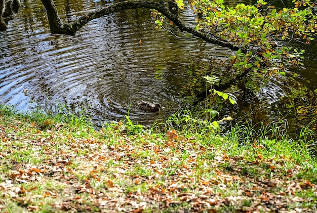 Majestueuse forêt bigarrée aux poutres ensoleillées. parc naturel. scène inhabituelle dramatique. feuilles d'automne rouges et jaunes. monde de la beauté.