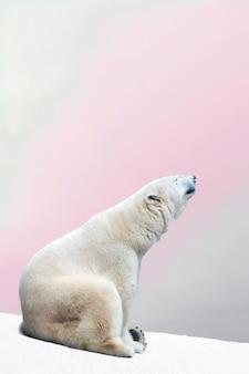 Majestueux ours polaire assis sur la neige froide au repos