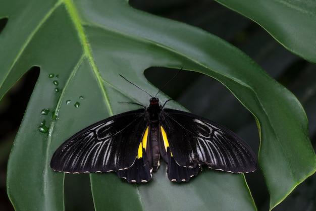 Majestueux papillon noir sur feuille