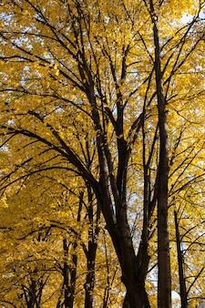 Majestueux tilleuls avec des feuilles d'automne jaune vif. vue de dessous.