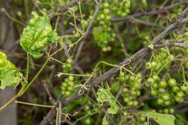 Maladies et ravageurs des arbustes à baies . gall puceron sur les groseilles. feuilles endommagées sur une groseille rouge.