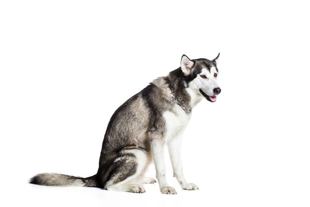 Malamute d'alaska assis sur le côté, isolé sur blanc. beau chien