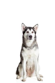 Malamute d'alaska assis devant la caméra, isolé sur blanc. beau chien
