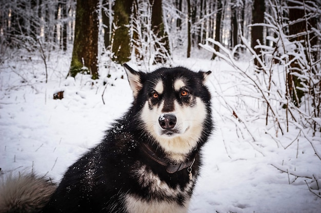 Malamute d'alaska dans la forêt d'hiver