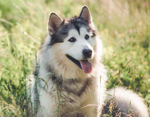 Malamute d'alaska reposant sur l'herbe d'été