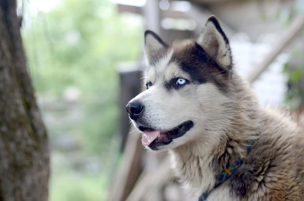 Malamute arctique aux yeux bleus museau portrait close up. ceci est un type natif de chien assez grand