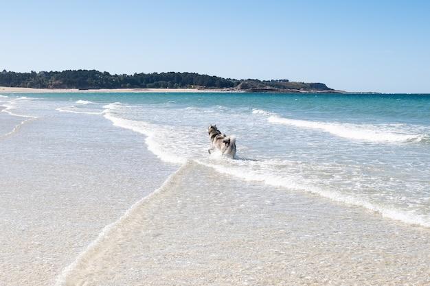 Malamute ou chien husky jouant dans les vagues d'une grande plage en été