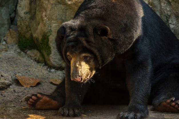 Malayan sun bear dans un zoo