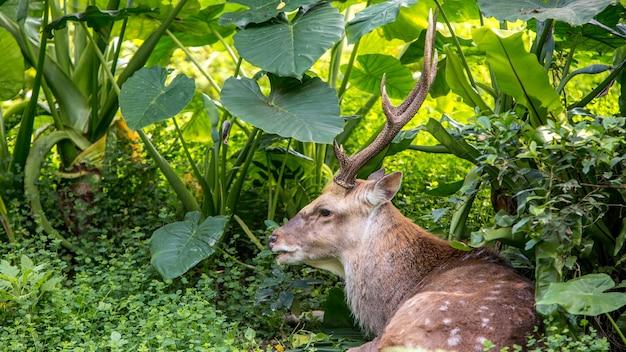 Un mâle adulte cervus nippon se reposant au milieu des arbres et des plantes forestières lors d'une chaude journée d'été. cerf sika dans la montagne.