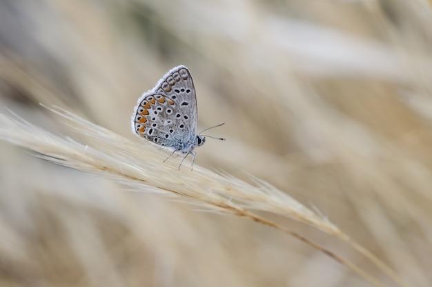 Mâle bleu du sud polyommatus celina