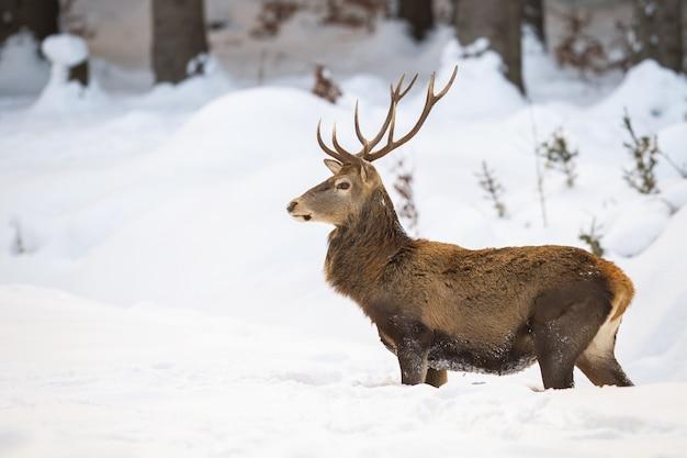 Mâle de cerf rouge avec fourrure d'hiver moelleux debout dans la neige