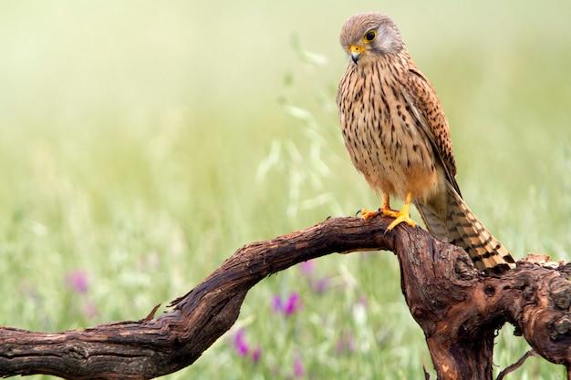 Mâle de faucon crécerelle, faucon, oiseaux, faucon, rapace, falco tinnunculus