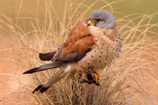 Mâle de faucon crécerellette, faucon, oiseaux, rapace, faucon, falco naunanni