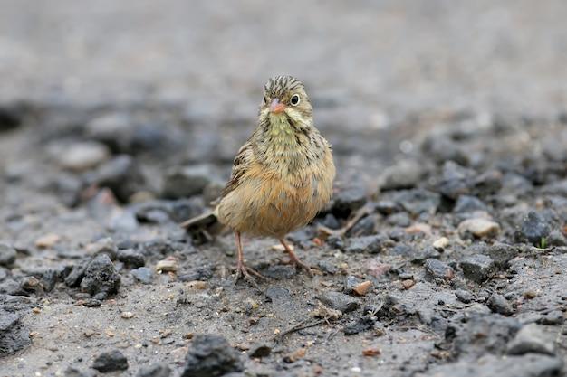 Mâle et femelle un bruant ortolan nageant dans une flaque d'eau sur la route et le séchage des plumes. des images drôles se bouchent
