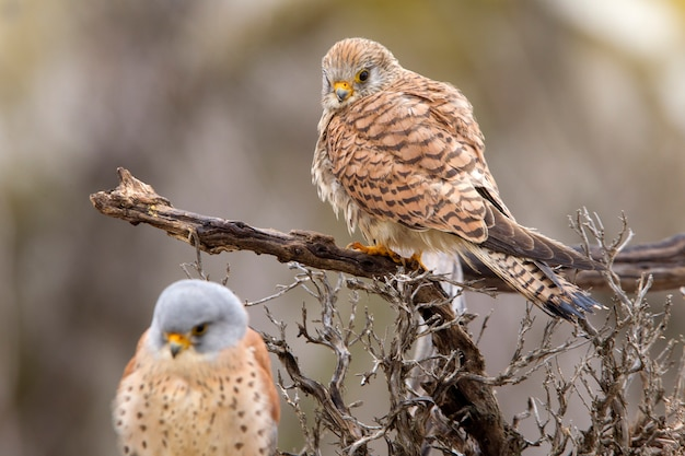 Mâle et femelle de faucon crécerellette en période de reproduction, faucon, oiseaux, rapace, faucon, falco naunanni