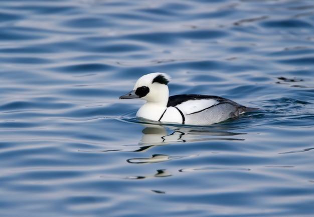 Mâle et femelle smew (mergellus albellus) gros plan nager dans l'eau