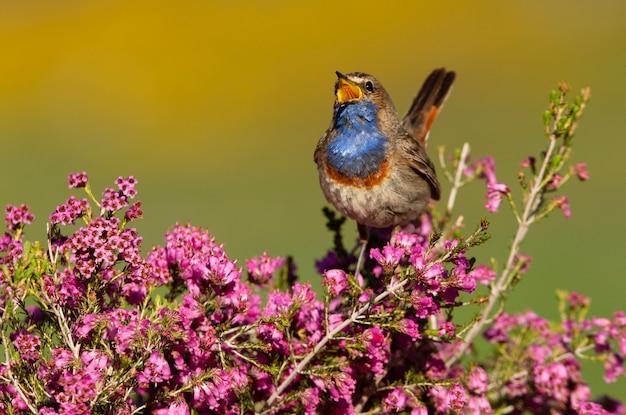 Mâle de gorgebleue chantant avec le plumage de la saison des amours, oiseaux, oiseaux chanteurs, luscinea svecica