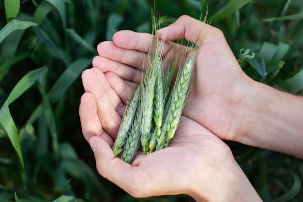 Mâle main tenant une épi de blé dans le champ de blé. agriculteur avec du blé dans les mains. plante, nature, seigle. tige avec des graines pour le pain aux céréales. croissance des récoltes agricoles. récolte, concept d'agriculture biologique.
