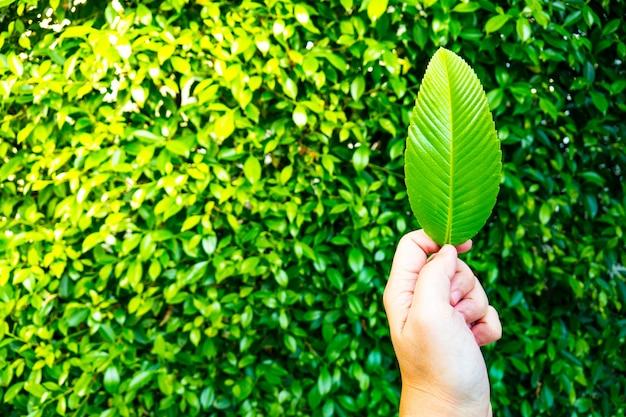 Mâle main tenant une feuille verte avec arrière-plan flou de buisson vert. concept d'humain et de natu